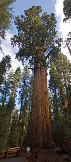 """This tree is called """"General Sherman"""". The tree is not only the biggest giant sequoia, but it is also the biggest tree in the world."""