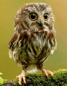 Baby Owl It's eyes look like built in glasses!