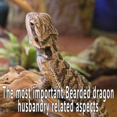 Bearded dragon husbandry