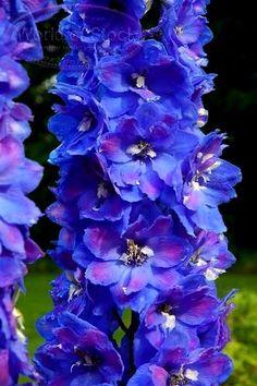 dark blue delphinium...