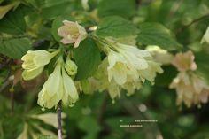 Weigela subsessilis bloem, geel in knop, de bloem verbloeit naar roze, april-mei.