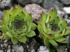 House leek Seeds ( Sempervivum Tectorum ) Hens and Chicks-mat-forming succulent Home Garden Plants, Planting Succulents, House Plants, Planting Flowers, Cactus, House Leek, Purple Tips, Hen Chicken, Dry Plants
