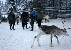 Herders, Poromiehet, Lappi Lapland Finland  Photo Aili Alaiso