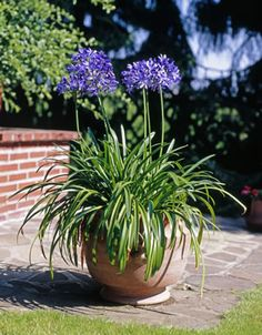 Ornamental lily, Agapanthus - care and wintering - Desmondo Garten & Balkon - Plants Horticulture, Plants, Container Plants, Growing Plants, Front Yard, Back Gardens, Container Gardening, Landscaping Plants, Agapanthus