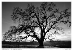 Old Black and White Photography | Black and White Picture/Photo: Old Oak tree profiled at sunset, Joseph ...