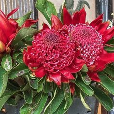 Stunning native Waratahs at Flowers from the Farm. Did you know they are the floral emblem of New South Wales? The name Waratah comes from the Eora Aboriginal people, the original inhabitants of the Sydney area. Australian Native Flowers, Aboriginal People, Byron Bay, Indoor Plants, Sydney Area, Nativity, Nursery, South Wales, Floral