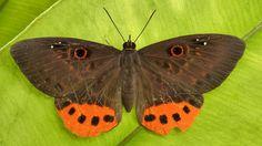 https://flic.kr/p/cNTxej | Eurybia donna, Riodinidae