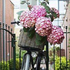 Big hydrangeas in basket on bike.