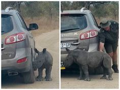 Orphaned Rhino Donnie thinks jeep is his parent after poachers killed his mum | Metro News