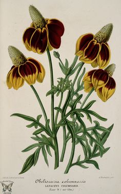Ratibida columnifera [as Obeliscaria columnaris] Mexican hat Botanical Flowers, Botanical Art, Botanical Gardens, Vintage Botanical Prints, Botanical Drawings, Nature Illustration, Botanical Illustration, Flower Illustrations, Art Floral