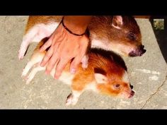 Cute micro pigs LIKE BEING RUBBED | HAM & BACON MINI PIGS