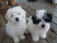 Honey Bears:  Coton De Tulear/Maltese/Shih-Tzu mix