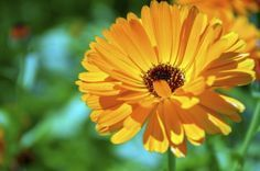 Growing Calendula: How To Care For Calendula Plants In The Garden - Bright yellow and orange flowers, historically used for medicinal and culinary purposes, result from easy calendula care when growing this simple flower. Learn more about the plant in this article.calendula