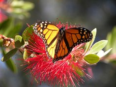 GMO crops are killing butterflies