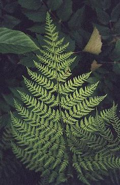 Shield fern.  (Dryopteris expansa)  3 ft tall x 4 ft wide.  Shade to bright shade.  Moist, fertile, acidic soil.  Does well next to a stream.