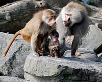 Hamadryas baboons (Native to the Horn of Africa & Yemen) - Adult male on right, Adult female on left, with infant in the middle. Wikipedia, the free encyclopedia