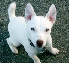 Embraced Jack Russell Terrier, Flurry. Click to learn the health dangers for this breed.