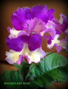 Streptocarpus 'Silvia' blooming today.