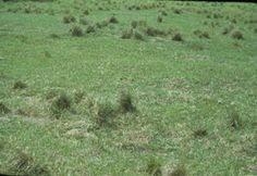Though you may not have the same grass species described in this article, you're sure to get some information about how grazing affects plant rooting depth, shading, and nutrient distribution and s...