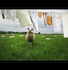 How Great Entrepreneurs Lure Their Competitors' Sheep Away Laundry Drying, Doing Laundry, Laundry Room, What A Nice Day, Laundry Lines, Great Entrepreneurs, Clothes Pegs, Clothes Lines, Homemade Laundry Detergent