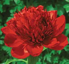 Peony Red Charm - Huge, rich red flowers are made up of a single row of outer petals that surrounds an explosion of smaller and heavily ruffled petals which keeps expanding as the flower opens. Flowers In Hair, Yellow Flowers, Spring Flowers, Beautiful Flowers, Indoor Flowering Plants, White Flower Farm, Sun Perennials, Fall Plants, Planting Flowers
