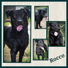Pflege- oder Endstelle gesucht!!! (es entstehen keine Kosten für die Pflegestelle)!  Rocco ist 01.2015 geboren hat eine Schulterhöhe von ca. 60 cm. Der hübsche Labrador-Mix kam als Fundhund zu uns.  Wir haben rausgefunden wo er ursprünglich gelebt hat und das waren wirklich schlimme  Verhältnisse. Trotzdem ist Rocco ist sehr sozial mit anderen Hunden und freundlich zu allen Menschen. Rocco ist geimpft und gechipt und wird nur nach VK und mit Schutzvertrag vermittelt. Im Moment ist Rocco noch…