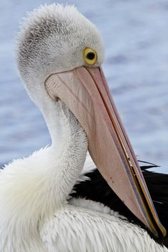 Pelican at Kingscote on Kangaroo Island in South Australia -- Memorable wildlife viewing lists high among the wonders of Australia.  Learn more about travel to Australia at http://www.examiner.com/slideshow/wonders-of-australia#slide=1