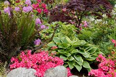 Bright magenta Azalea on rock wall w/ Hosta, Japanese Maple