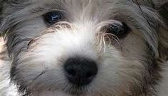 Havanese California Breeder Havanese Puppies For Sale California ...