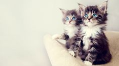hd pics photos beautiful fluffy cat pair cute blue eyes hd quality desktop background wallpaper