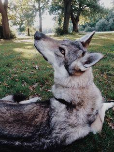 Christine Moody. Wolves · Czech Wolfdog ...