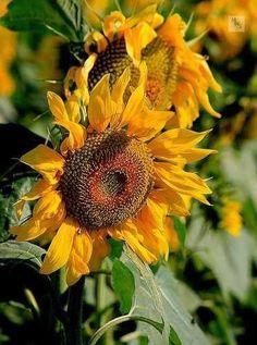 Sunflower on farm, Andalucia, Spain ~ Sunflower Garden, Sunflower Art, Sunflower Fields, Sunflower Paintings, Happy Flowers, My Flower, Pretty Flowers, Sun Flowers, Sunflowers And Daisies