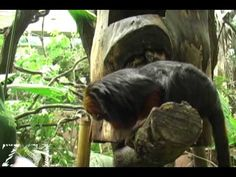 Zoological Society of London (ZSL) tour of animals in their rainforest biome exhibit (4:26)