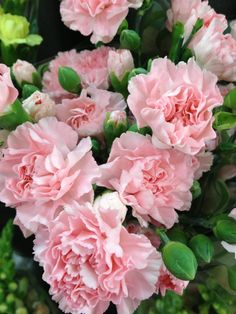 Ahhhhh, so pretty! Pink Carnations, Beautiful Flowers, Rose, Pretty, Plants, Girls, Toddler Girls, Pink, Daughters