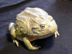 "African Bullfrog.  Photo, by Terry Gampper, of his ~10 year old, 9"" bullfrog named Spot."