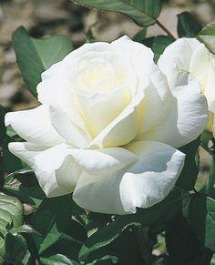 RP: Honor Hybrid Tea Rose, slight tea fragrance