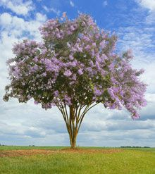 Muskogee Crape Myrtle - highly mildew resistant, blooms 120 days, grows up to 5 ft per year