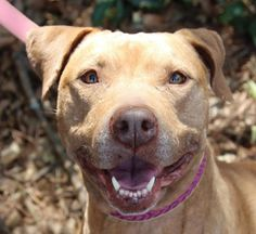 Meet Katie, an adoptable American Staffordshire Terrier looking for a forever home.