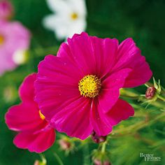 Cosmos easy seeds The plants don't mind hot, dry locations, so they're ideal for low-maintenance gardens, too. And they often self-seed. Starting Tips: Spread seeds over the ground and just barely cover them; seeds usually sprout in one to three weeks. Cottage Garden Plants, Cottage Gardens, Cosmos Flowers, Low Maintenance Garden, Annual Flowers, Dried Flower Bouquet, Growing Seeds, Garden Care, Autumn Garden