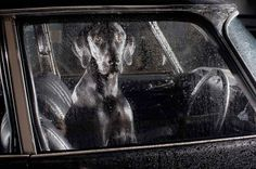 """""""The Silence of Dogs in Cars"""""""