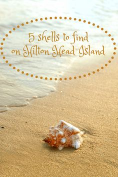 5 Shells to Find Beachcombing on Hilton Head Island