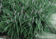 """Zone: 6 - 10Height: 20""""  Class: PerennialSoil Type: Well-drained, dry to moist, loose soil.  Siting: Sun, Part shadeSpread: 30""""  DESCRIPTION  One of the largest Liriopes - vigorous, tough and more sun tolerant. Widely adapted to less than ideal conditions, plants can grow in dry to more moist soils, in sun to part shade. Leaves are very dark green, glossy and strap-like. Short, leafless spikes carry small, violet blue flowers. A choice ground cover for shade gardens"""