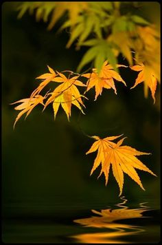 A time to reflect. by Jacky Parker Floral Art Japanese Maple, Fall Pictures, Mellow Yellow, Autumn Leaves, Maple Leaves, Autumn Fall, Autumn Harvest, Belle Photo, Natural World