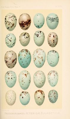Birds' Eggs taken from 'Catalogue of the Collection of Birds' Eggs in the British Museum' by British Museum (Natural History). Department of Zoology. W. Ogilvie-Grant. December 1901. Natural History...