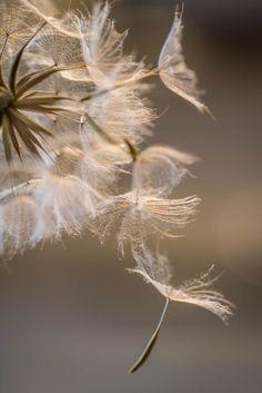 beautiful dandelion blowing in the wind