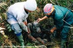 Rescuing an orangutan caught in forest fires. These take place in Sumatra and Kalimantan (Indonesian Borneo). Palm Oil companies, loggers, farmers set fires during dry season but these get out of control. This year the fires are destroying the only habitat left for the endangered orangutan, a protected species in rapid decline.