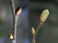 Pähkinäpensas