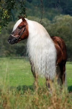 Horse with a very long mane - Haflinger stallion  Please pray to Heal Jeremy's Colon Cancer!