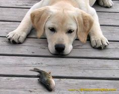 Funny Labrador | Labrador Puppy Pics and Info: Pictures and information about the ...
