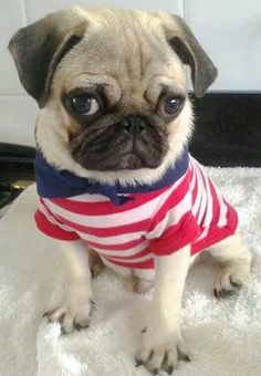Sailor Pug